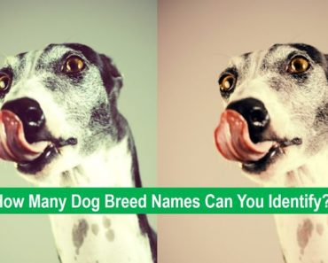 dog breed trivia quiz